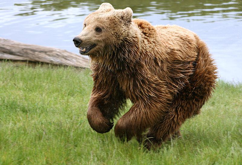 800px-Brown_bear__Ursus_arctos_arctos__running.jpg